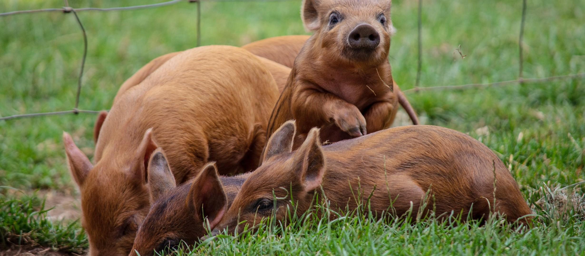 4 pigs in field